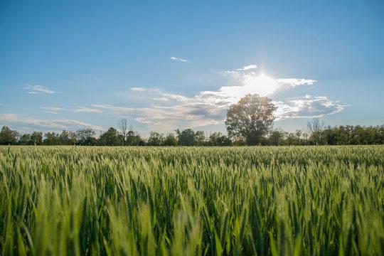 campo di grano paradisiaco cielo blu wheat field