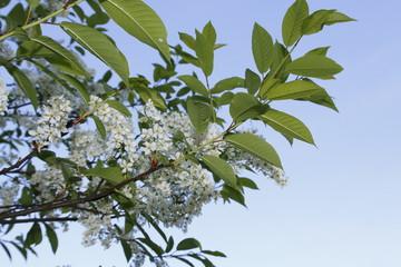 Traubenkirsche, Kirsch Blüte am Ast, in weiß mit grünen Blättern vor blauem Himmel