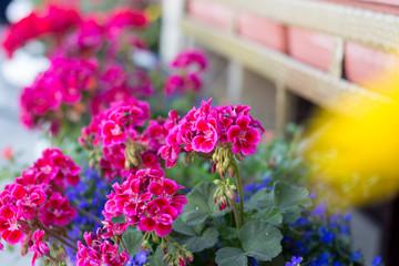 Geranium in the gardening of balconies