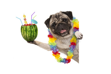 frolic summer pug dog with hawaiian flower garland, holding watermelon cocktail with umbrella and straws, isolated on white background