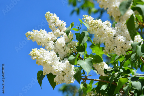 White flowers of lilac in the spring garden bush with fragrant white flowers of lilac in the spring garden bush with fragrant white flowers mightylinksfo