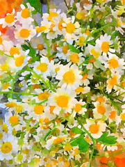 A Bouquet Of Matricaria