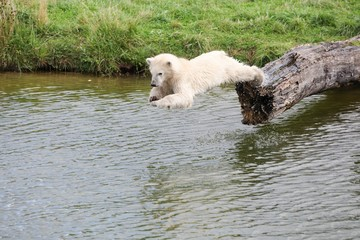 Young polar bear diving into the water