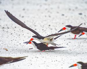 Black skimmers copulating