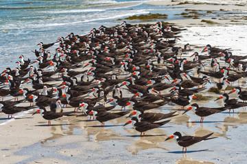 Black skimmer colony at the shoreline