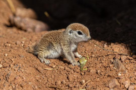 Young Round-tailed ground squirrel (xerospemuphilus tereticaudus), sitting still, alert for possible danger, in Arizona's Sonoran desert.