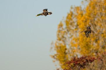 Pair of Mallard Ducks Flying Past the Golden Autumn Trees