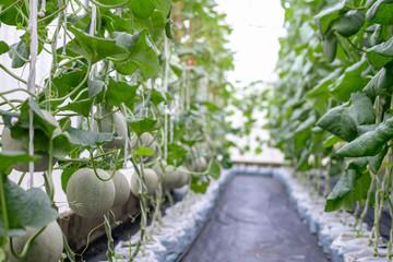 Cantaloup melon growing in a farm