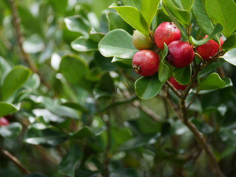 strawberry guava branch tree with fruits in hawaii