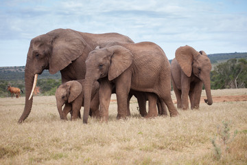 African elephant family with small baby