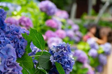 カラフルに色づいた紫陽花の花
