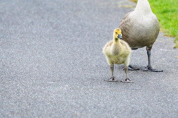 Cute fluffy yellow baby Canadian Goose standing tall in front of an adult goose on an asphalt path with green grass in the corner