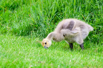 Cute fluffy baby Canadian Goose standing eating in short grass, in front of tall green grass