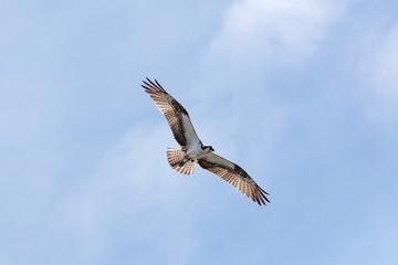 Osprey In Flight 2