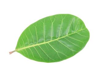 Cashew Nut green leaf isolated on white background