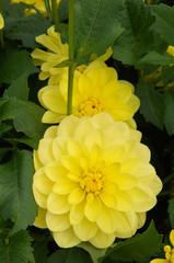 Yellow flowers of dahlia border sisa with green foliage