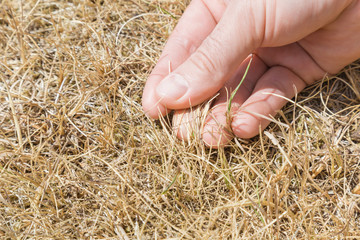 Man's hand showing the dried grass without rain for a long time. Closeup. Hot summer season with high temperature. Low humidity level. Environmental problem. Global warming.