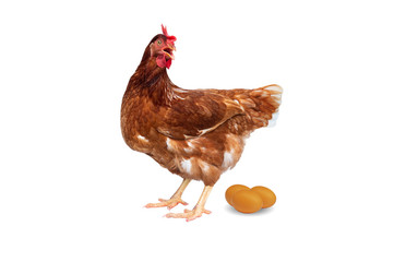 Brown hen with eggs isolated on white background, Chicken isolated on white.
