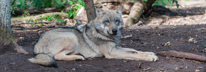 Photo sur Plexiglas Loup Panorama with a wolf