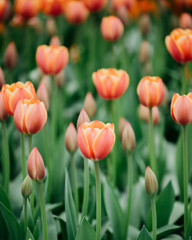 Beautiful tulips in spring time