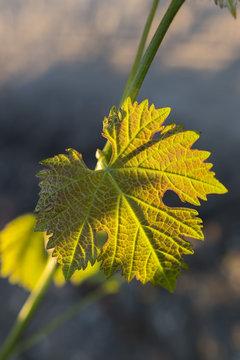 Vine leaf, a spring evening, with sunset over vineyard background.