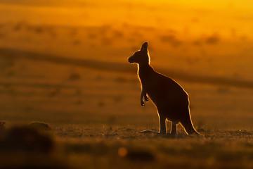 Macropus giganteus - Eastern Grey Kangaroo