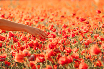 Female hand touching red poppies in field.