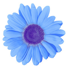 Flower blue daisy isolated on white background. Close-up. Element of design.
