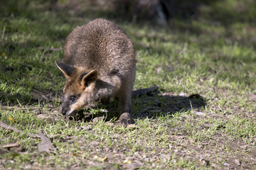 a swamp wallaby joey