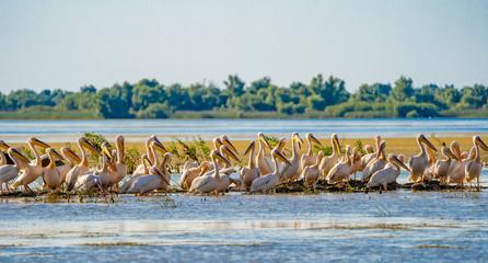 Danube Delta common sight the Pelican colony on Fortuna Lake