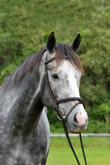 Outdoor head portrait of a beautiful thoroughbred horse with alert facial expression and pricked ears.