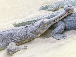 Crocodiles  (Gavialis gangeticus) family relaxing on the beach on a beautiful summer day. Concept of summer vacation