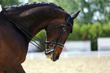 Head shot closeup of a dressage horse during competition event