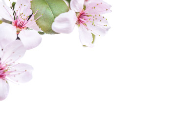 Pink plum flowers with green leaves isolated on white background