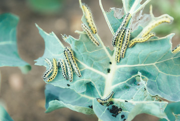 The caterpillar of white butterfly eating the leaves of a cabbage