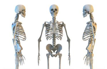 Human skeleton anatomy set. Skeletal bones, lateral and anterior view. Educational medicine poster. 3D illustration