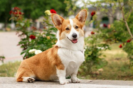 dog welsh corgi beautiful summer portrait in the park