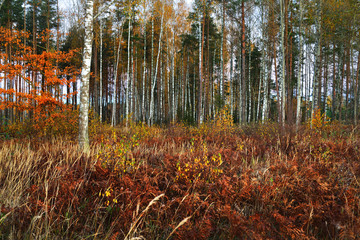 Autumn morning. Red and golden trees in the forest, Latvia
