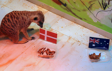 A meerkat named 'Timon' prepares to eat from a container labelled with the national flag of Denmark during an event at a zoo in the Russian city of Samara