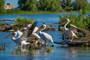 Pelican Colony on Fortuna Lake in the Danube Delta