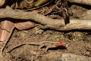 Rosebelly Lizard (Sceloporus variabilis)