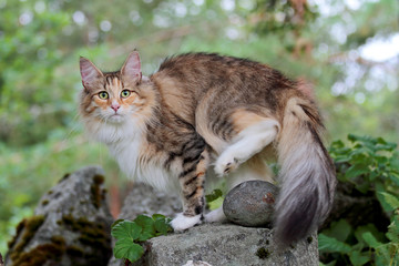 Norwegian forest cat female lifting her hind leg over a stone