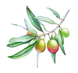 Watercolor illustration of the olive tree branch with olives and