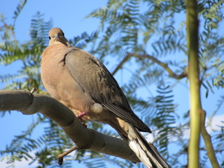 Mourning dove (Zenaida macroura) in a palo verde tree in Arizona with blue sky in the background