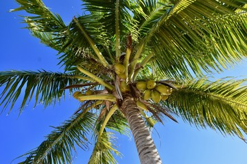 Kokospalme in der Karibik