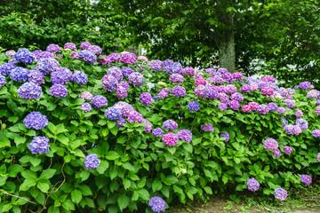 紫陽花、アジサイ、あじさい、たくさん、複数