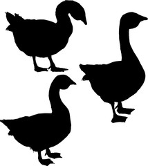 silhouettes of three gooses isolated on white