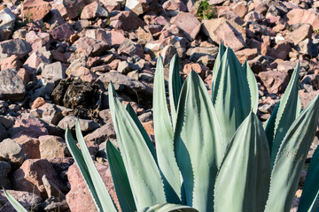 Maguey Agave Plant with stone wall backround