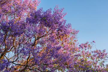 Purple Jacarandas Tree at sunset