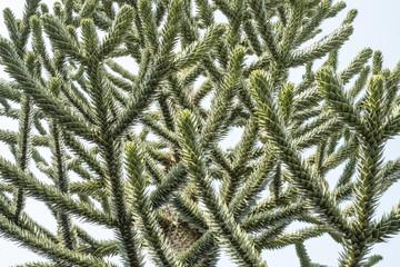 Monkey puzzle tree, Araucaria Araucana, close up of branches